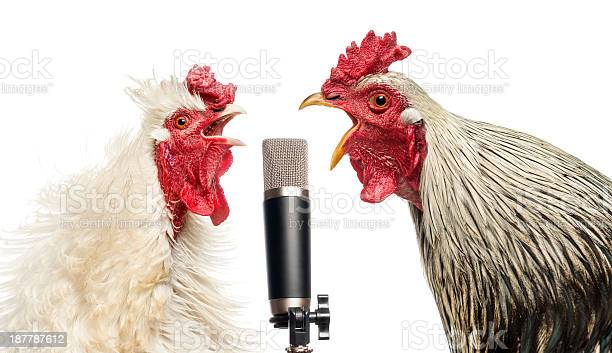 Two roosters singing at a microphone isolated on white picture id187787612?b=1&k=6&m=187787612&s=612x612&h=arsi ow4xg8ay tojotcl1gtdkmn bfopakrubd5u90=