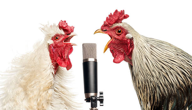 two roosters singing at a microphone, isolated on white - chicken bird stock pictures, royalty-free photos & images