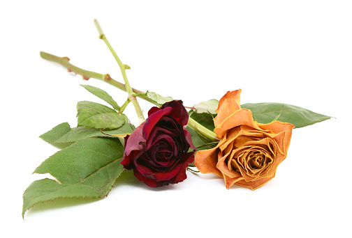 Two rose stems with dying flowers