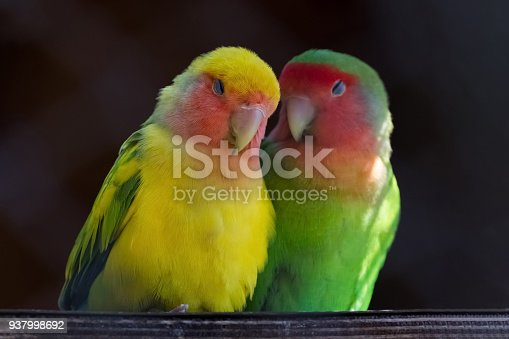 istock Two Rosy-faced lovebirds, Agapornis roseicollis, in love 937998692