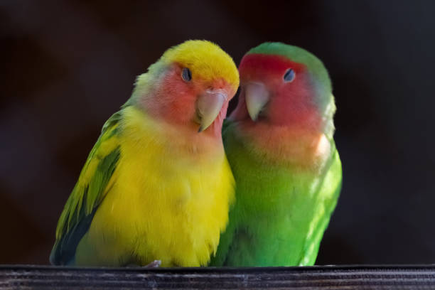 Two Rosy-faced lovebirds, Agapornis roseicollis, in love stock photo