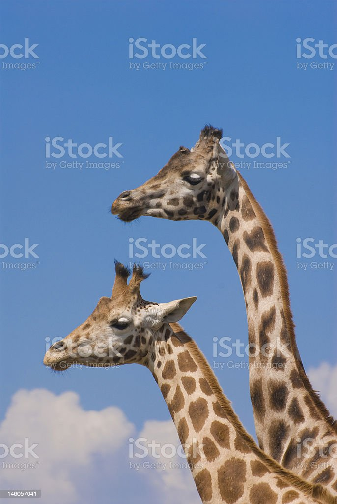 Two Rothschild Giraffes (Giraffa Camelopardalis Rothschildi) stock photo