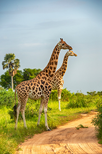 Two Rothschild's giraffes (Giraffa camelopardalis rothschildi)  in Murchison Falls National Park, Uganda. This subspecies is one of the most endangered distinct populations of giraffe, with only 1669 individuals estimated in the wild in 2016 Murchison Falls National Park is in north-western Uganda, spreading inland from the shores of Lake Albert, around the Victoria Nile, up to the Karuma Falls