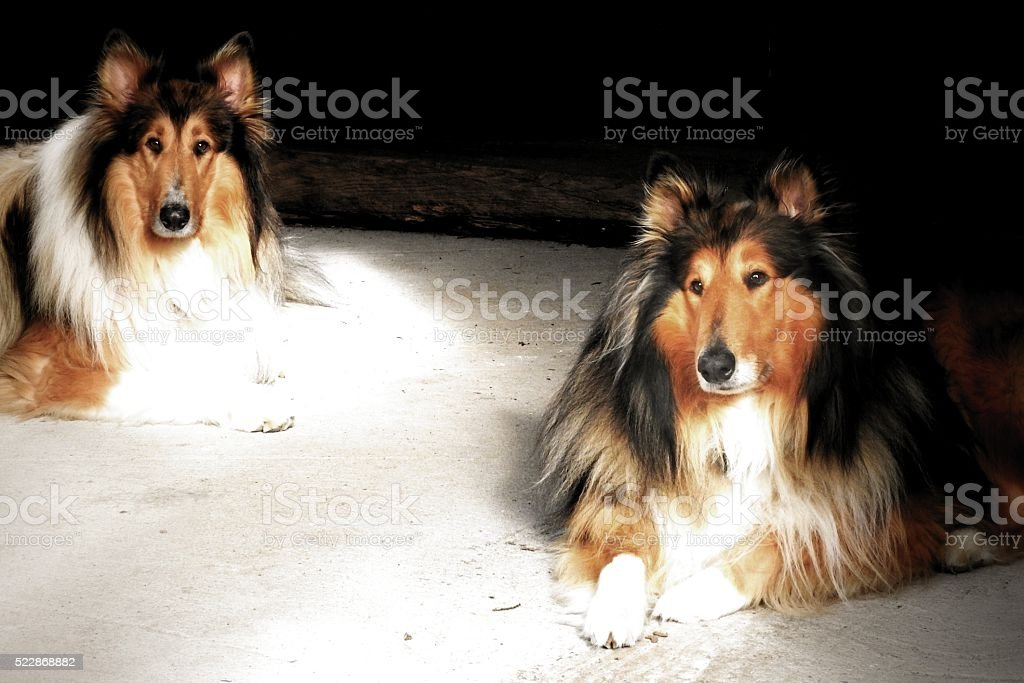 Two rough collies stock photo