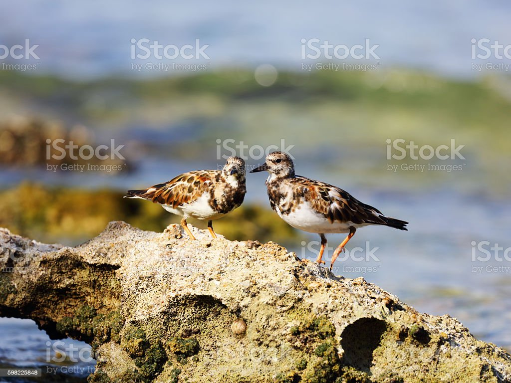 Two Ruddy turnstones (Arenaria interpres) on a rock foto royalty-free