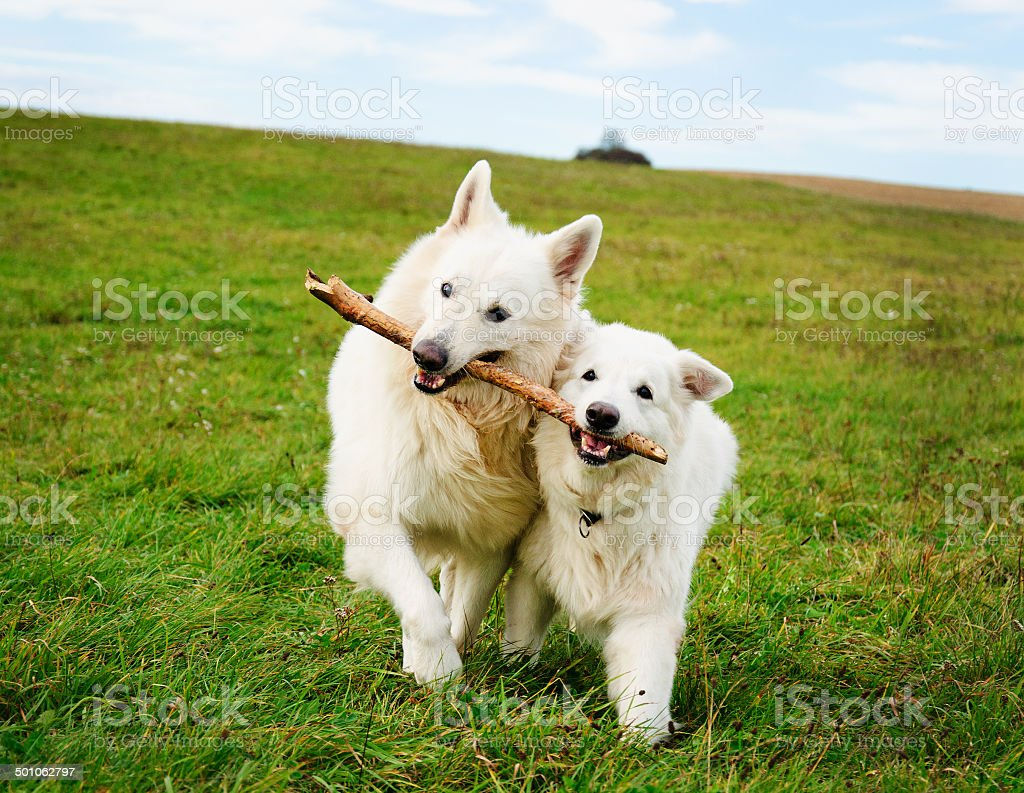 Two running dogs stock photo