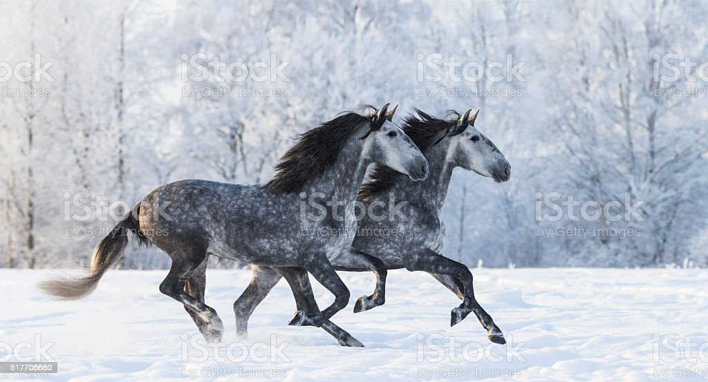 Two running grey Purebred Spanish horses stock photo