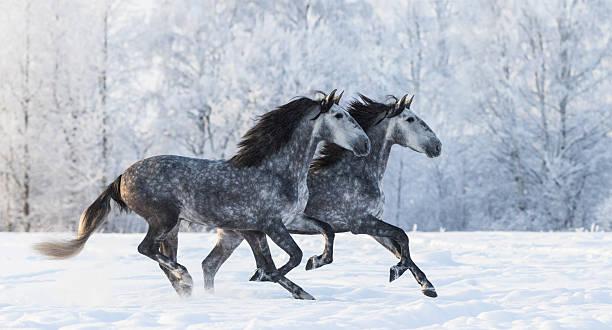 zwei pferde laufen grau reinrassige spanischen - andalusier pferd stock-fotos und bilder