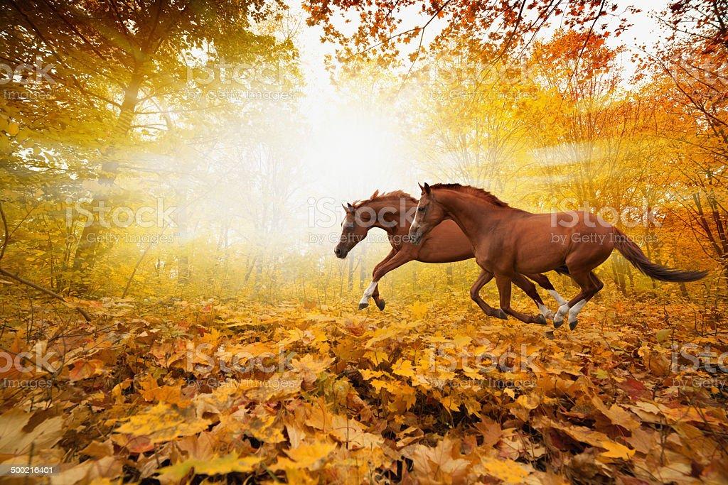Two running horses stock photo