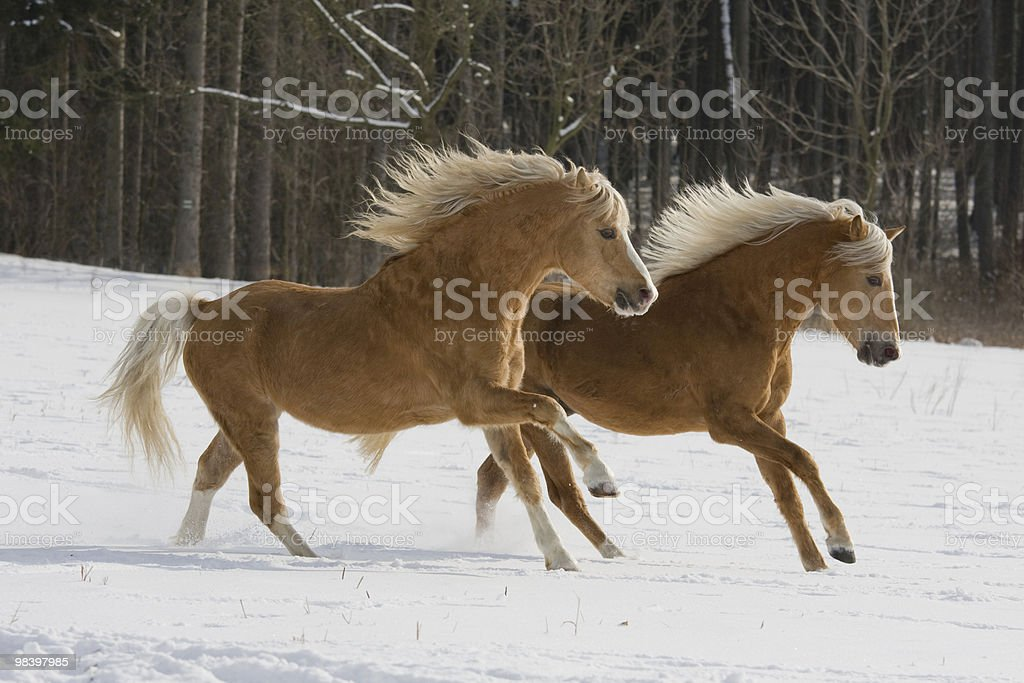 Two running horses royalty-free stock photo