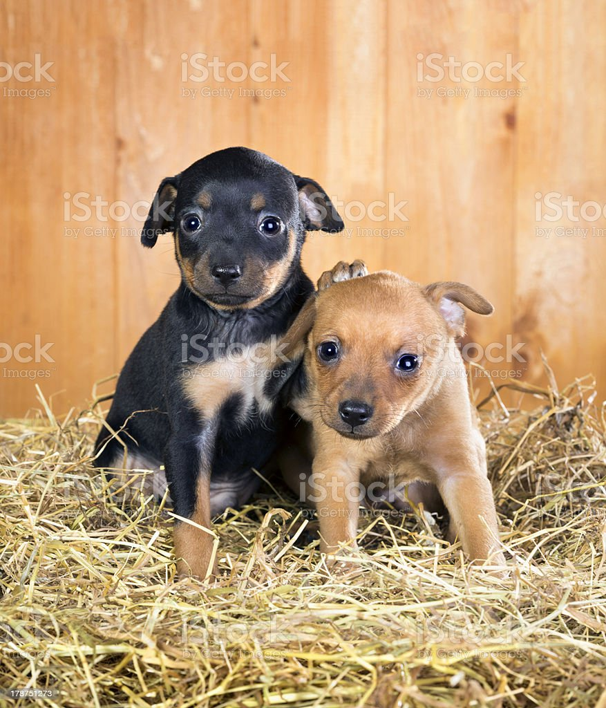 Two Russian Toy Terrier puppies stock photo