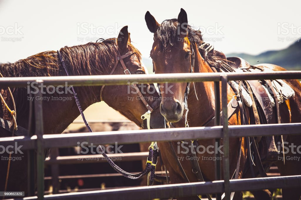 Two saddled horses stock photo