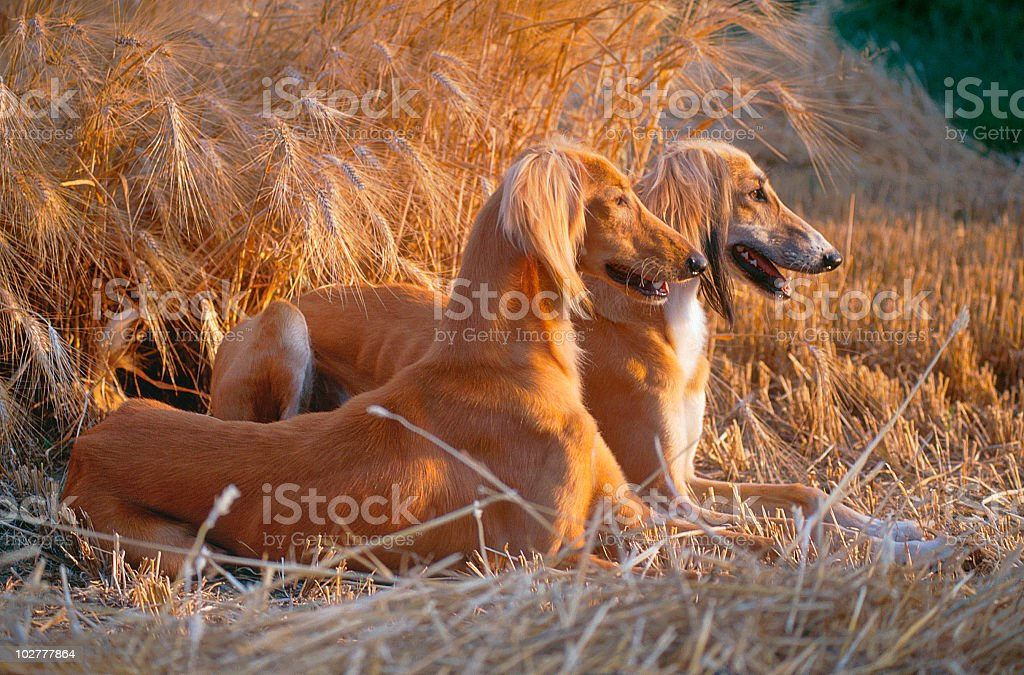 Two saluki dogs crouched in a field, side view stock photo