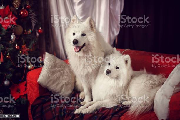 Two samoyed laika in a christmas studio picture id878445048?b=1&k=6&m=878445048&s=612x612&h=rvzjjfz7r2i0fyuymwcd wsulec4ycd7yjzszx9dzgs=