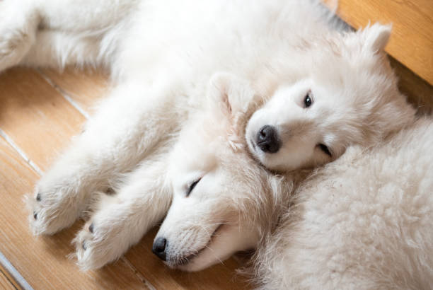 Two Samoyed puppies dogs laying on the floor and sleeping stock photo