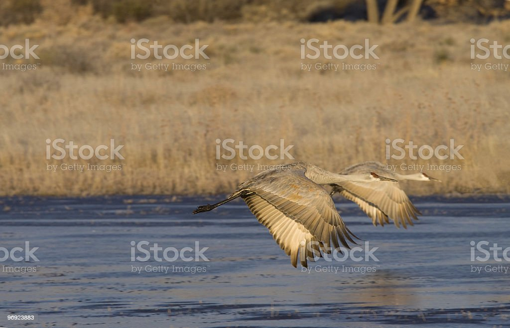 Two Sandhill Cranes Fly Away at Sunrise royalty-free stock photo