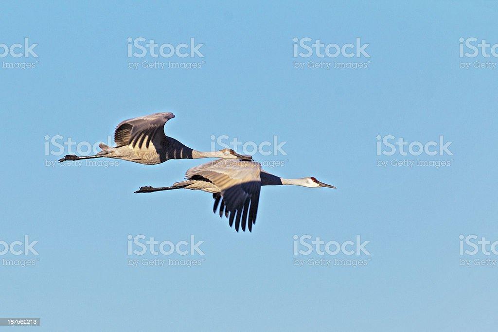 Two Sandhill Cranes flying stock photo