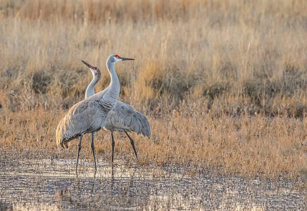 Two Sandhill Cranes stock photo