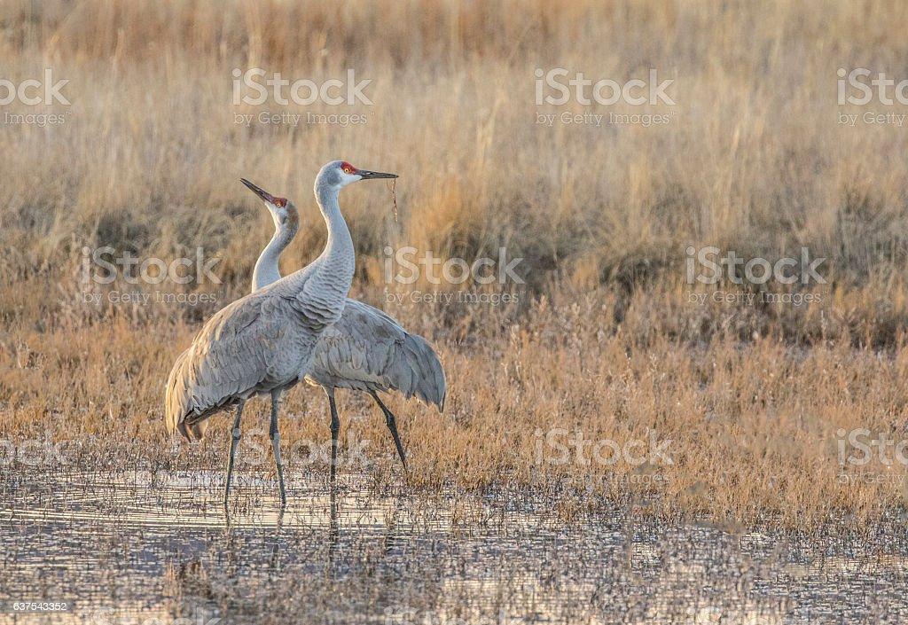 Two Sandhill Cranes watching stock photo
