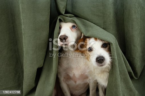 istock two scared or afraid puppy dogs wrapped with a curtain. 1262412758