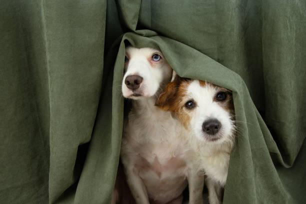 dos perros cachorros asustados o asustados envueltos con una cortina. - dog fotografías e imágenes de stock
