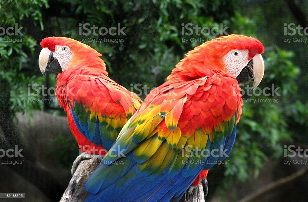 Two Scarlet Macaws stock photo