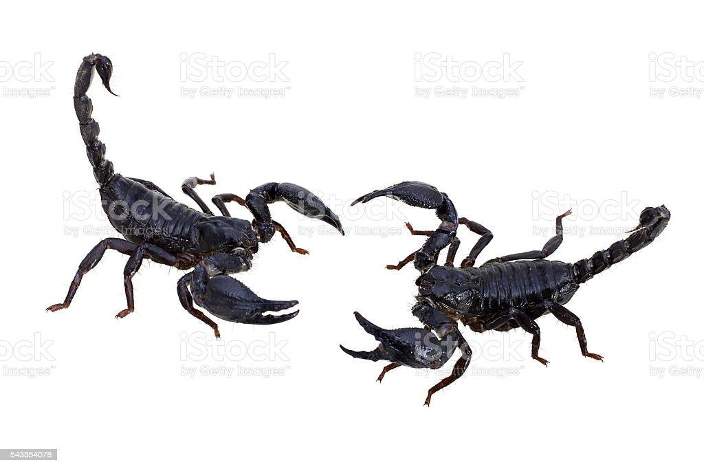 Two scorpion on white background stock photo