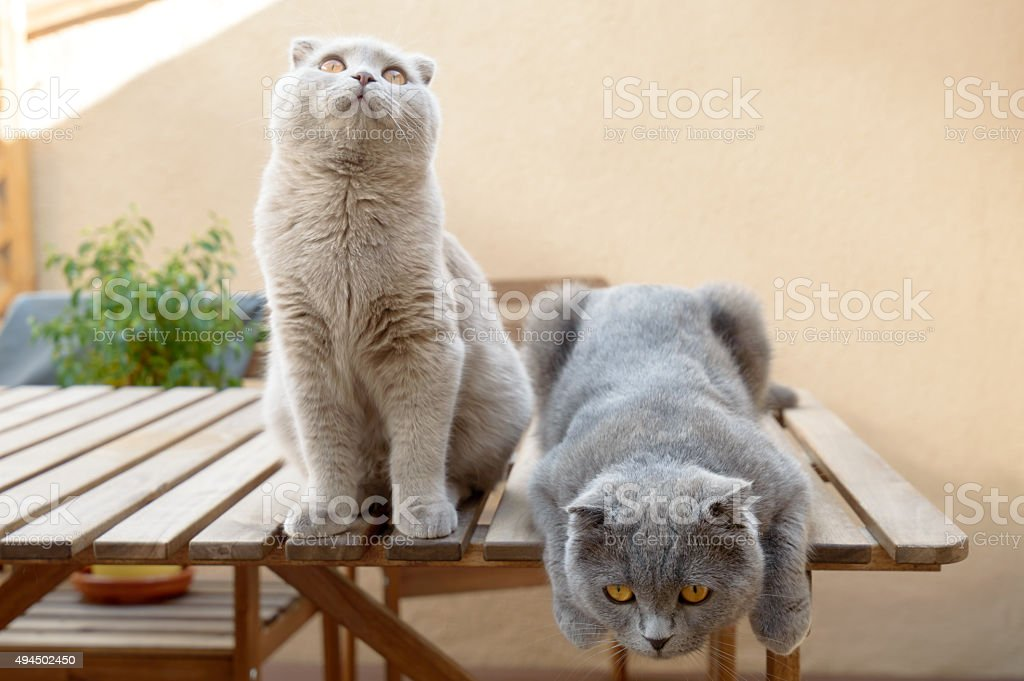 Two Scottish Fold cats stock photo