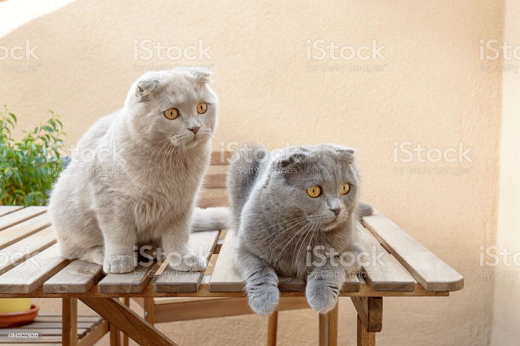 Two Scottish Fold cats stock photo