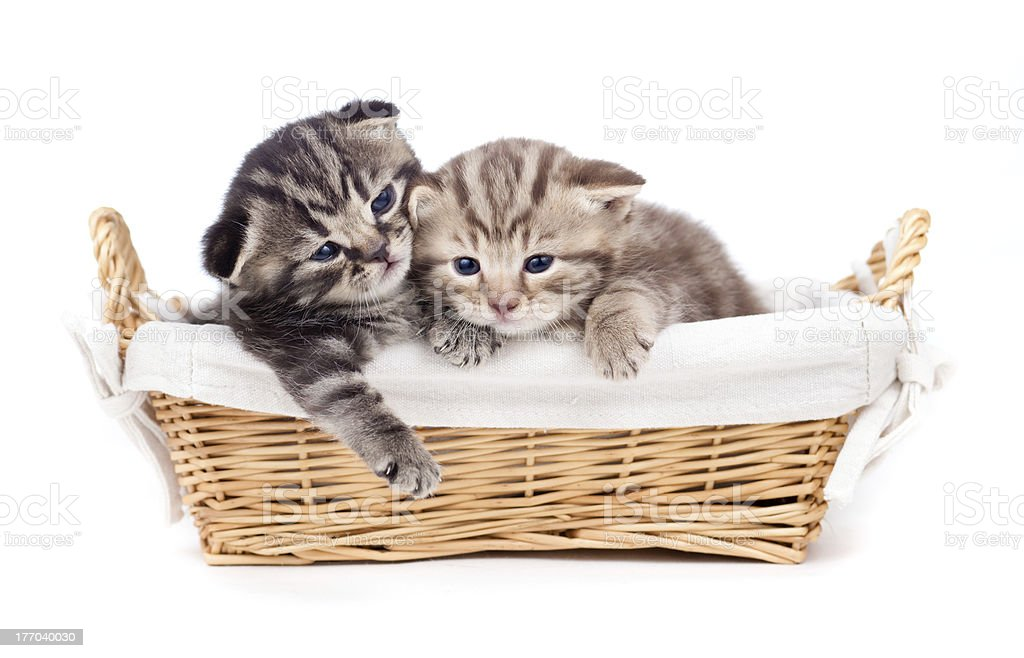two Scottish little kitten lying in basket together royalty-free stock photo