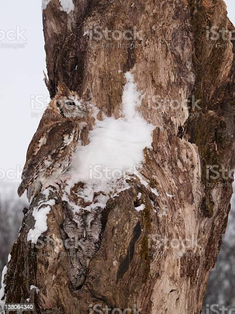 Two screech owls on tree picture id138064340?b=1&k=6&m=138064340&s=612x612&h=6 0a7txqvobylmquhi9iu3n4j9rj53iv0v1y3unvuyg=