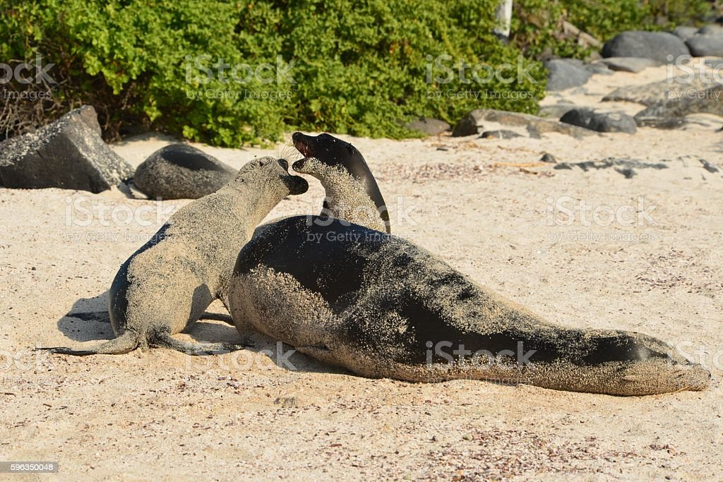 Two Sea Lion Pups and Mother Lizenzfreies stock-foto