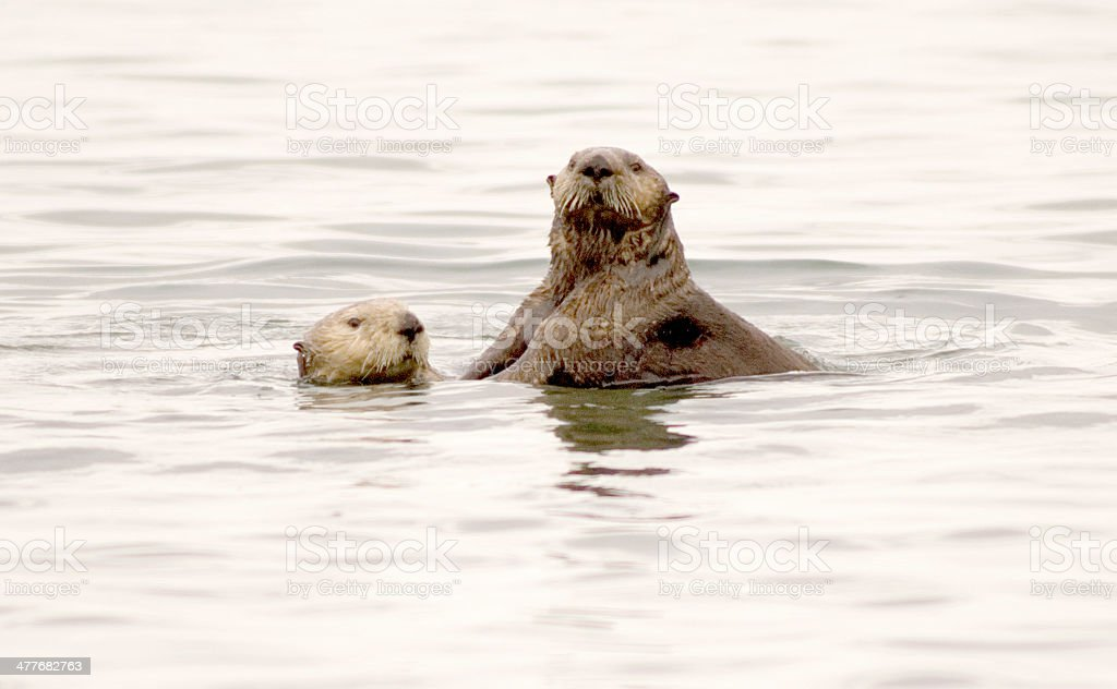 Two Sea Otters in Waters Off the Alaskan Coastline royalty-free stock photo
