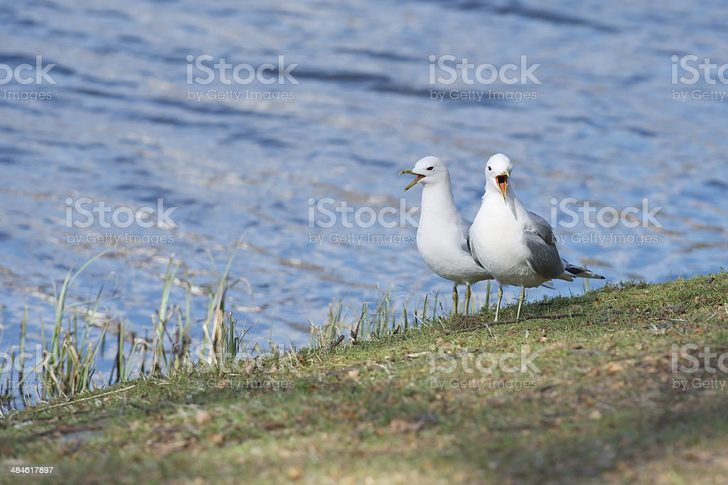 Two seagulls are having a conversation by the lake royalty-free stock photo