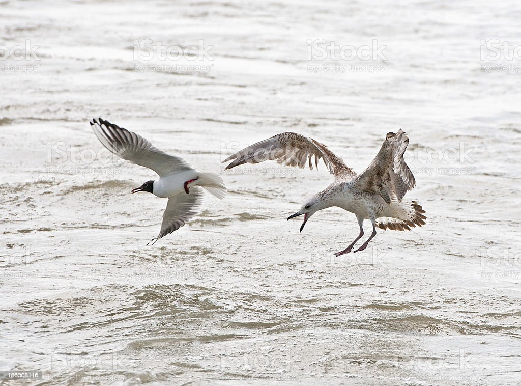 two seagulls fighting about food stock photo