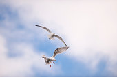 Two seagulls flying mid-air on overcast day in fall. Shallow depth of field. Blurred background.