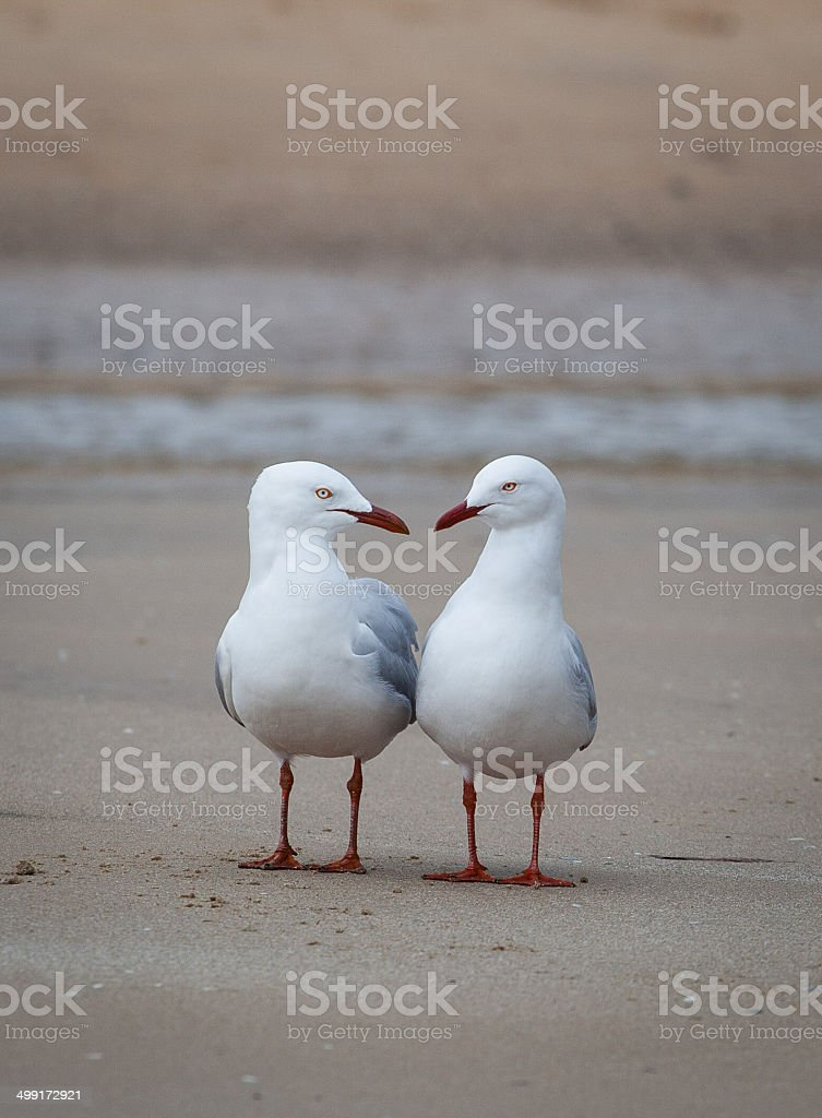 Two seagulls having conversation on a beach stock photo