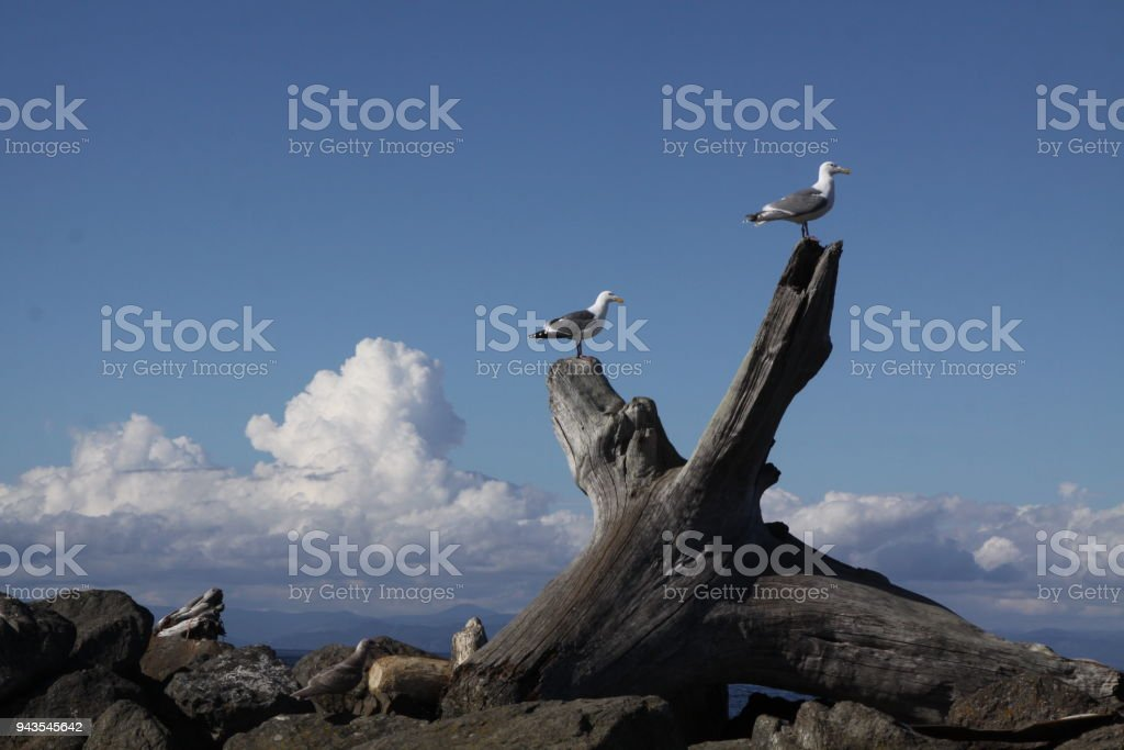 Two Seagulls Perched On Driftwood stock photo