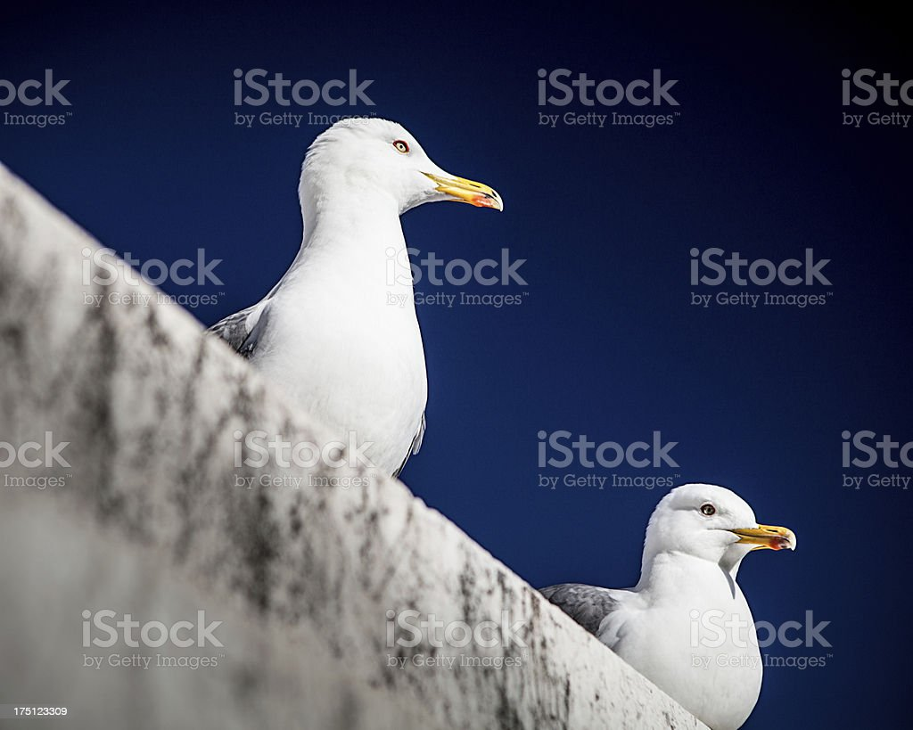 Two seagulls sitting on white wall royalty-free stock photo