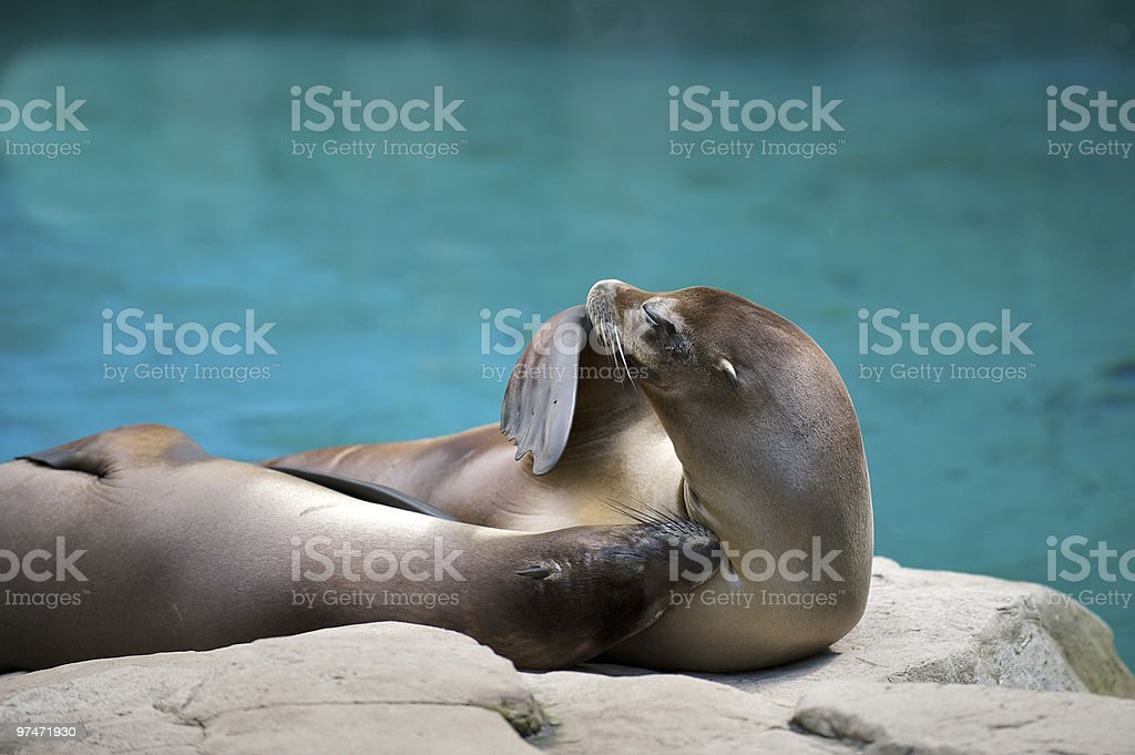 Two seals laying in the sun royalty-free stock photo