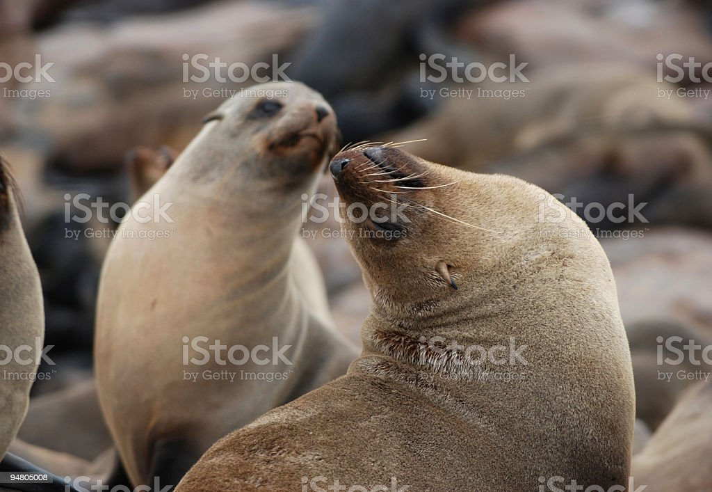 Two seals royalty-free stock photo