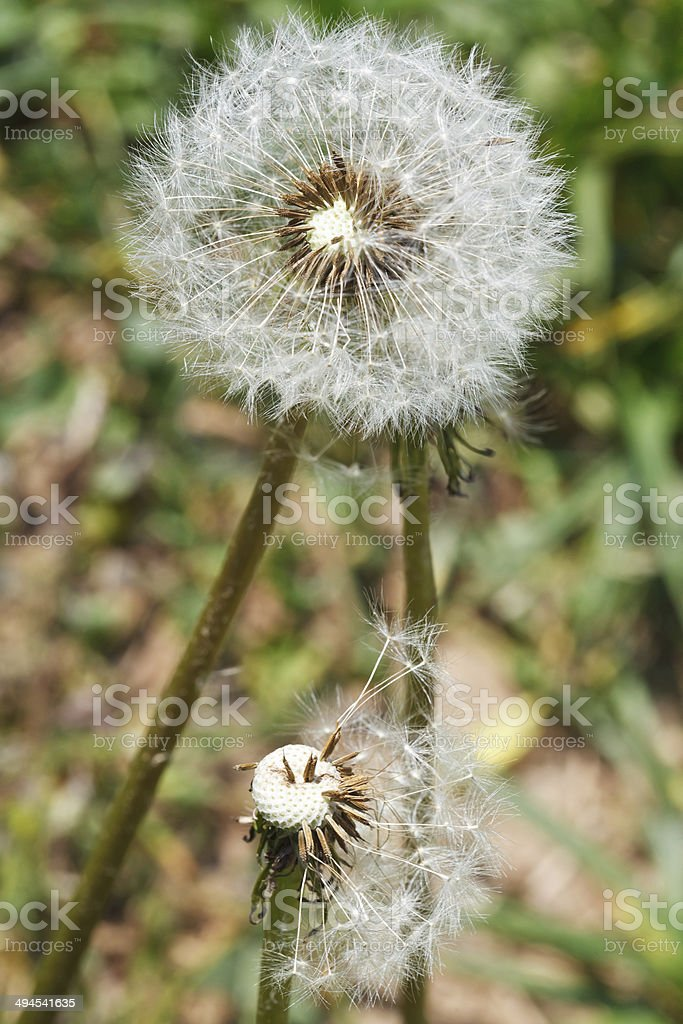 two seed heads of taraxacum blowballs close up royalty-free stock photo