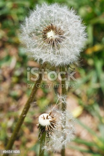 two seed heads of taraxacum blowballs on lawn close up on lawn
