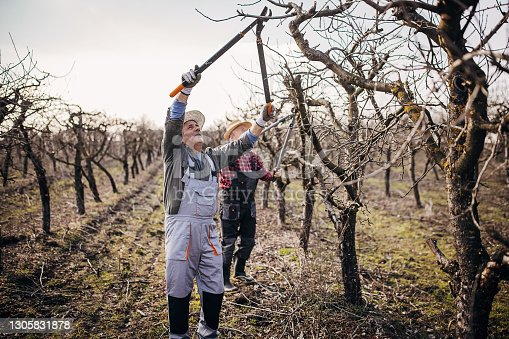 istock Two senior farmers pruning trees 1305831878