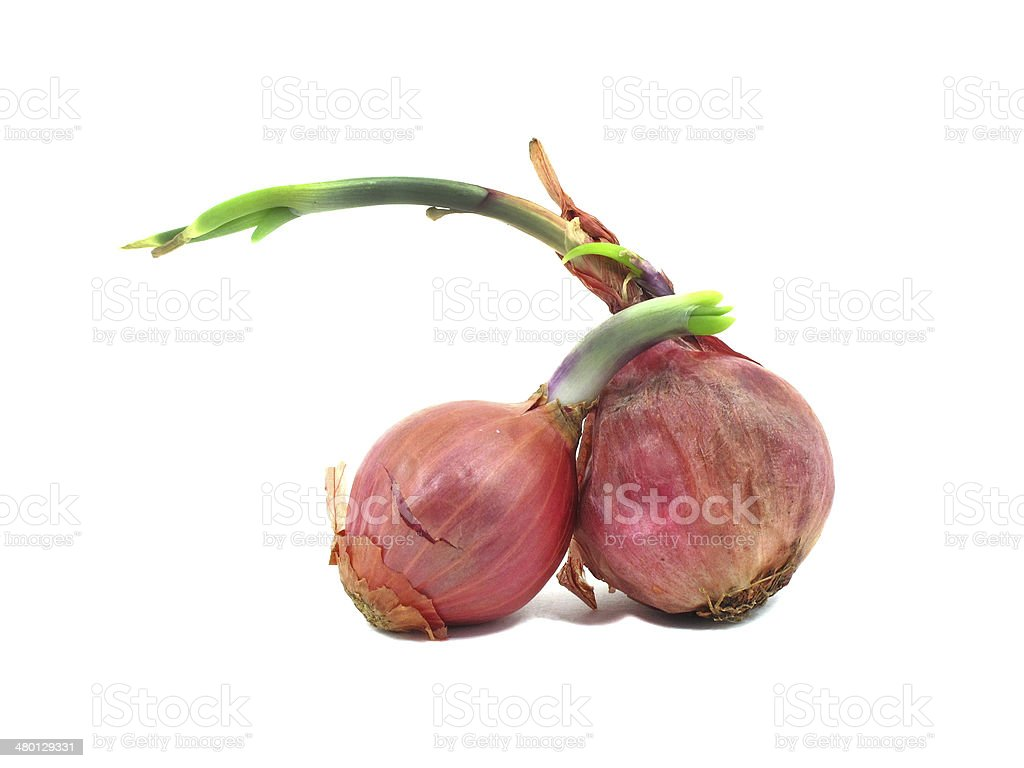 Two shallots with leaflet sprout stock photo
