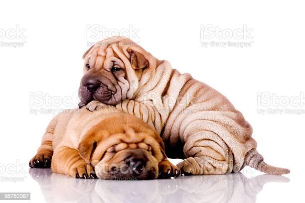Two shar pei baby dogs picture id95782067?b=1&k=6&m=95782067&s=612x612&h=ru01te9gmuz1 msss7t8ji8ux9oj98lflwkqtwc5ktw=