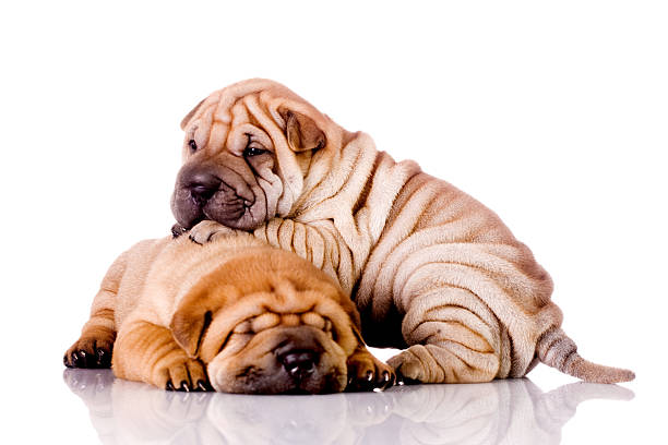 two Shar Pei baby dogs two Shar Pei baby dogs, isolated on white newborn animal stock pictures, royalty-free photos & images