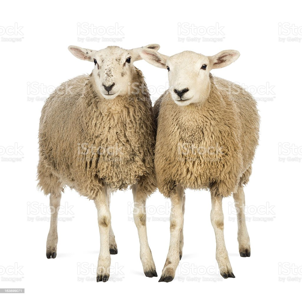 Two Sheep against white background stock photo