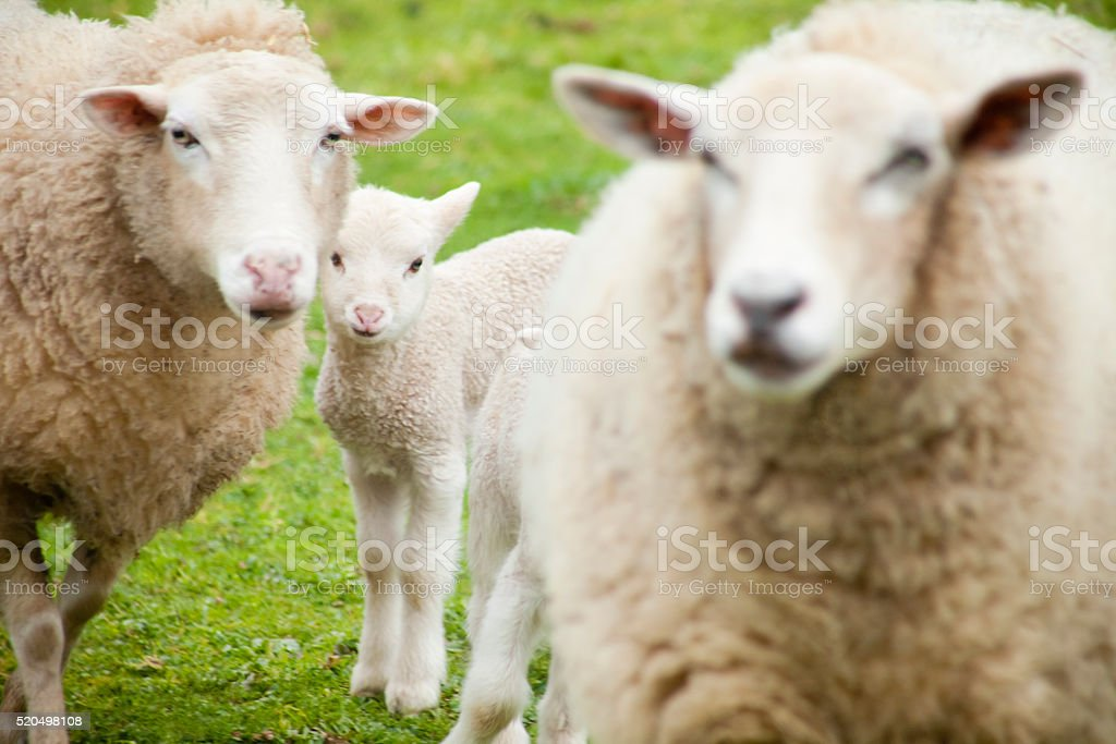 Two sheep and a newborn lamb, green meadow. stock photo