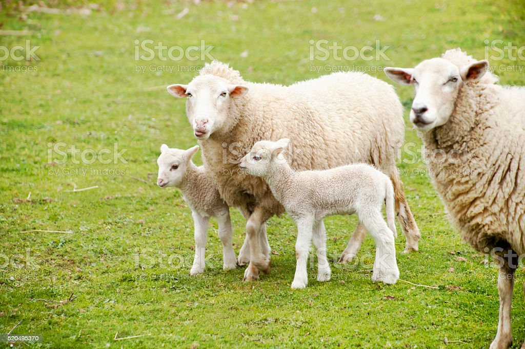 Two sheep and two lambs, green meadow. stock photo